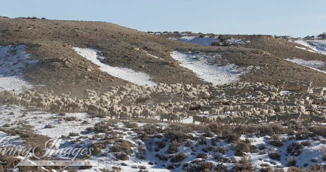 Sheep covering Adobe Town HMA ~ photo by Carol Walker