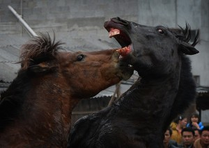 he horses are pushed to kick and bite each other by the presence of a female. Photo by Mark Ralston/AFP/Getty Images.