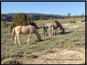 Cloud's youngsters are at risk.  Photo by R.T. Fitch of Wild Horse Freedom Federation