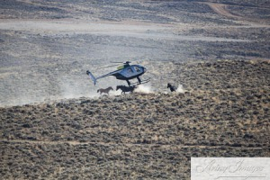 BLM terrorizing what's left of Wyoming's wild horses. ~ photo by Carol Walker of Wild Horse Freedom Federation