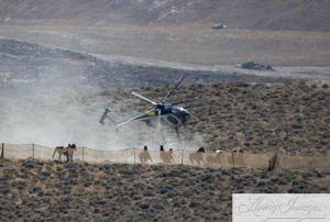 BLM destroying the last of Wyoming's Wild Horses for the benefit of Welfare Ranchers ~ photo taken last week by Carol Walker of Wild Horse Freedom Federation