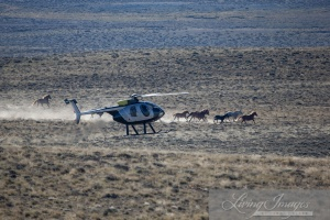Destruction of Wyoming's Adobe Town herd by the BLM ~ photo by Carol Walker of Wild Horse Freedom Federation