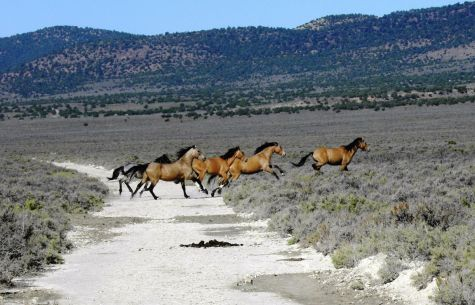 "wild horse round up in nevada Emergency roundup planned for wild horses in cold creek by kelsey thomas   ""this is a wonderful part of nevada's legacy"" it's a legacy."