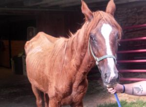 This chestnut-colored horse, now named Anastasia's Ally, is one of three found in late July in a severely emaciated state in New Holland and is the only one of the three to survive. The 17-year-old mare is recuperating at a horse rescue farm in Woodbine, Maryland.