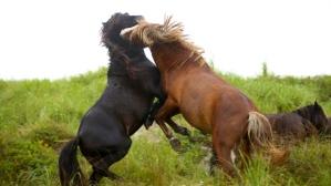 sable-island-stallion-fight