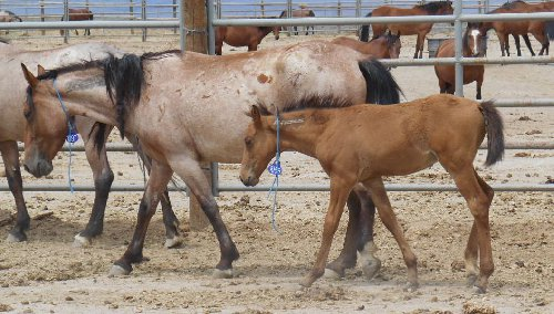 blm mustangs for sale online