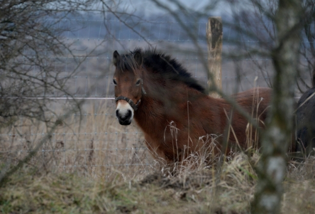 A wild horse in the enclosure in Milovice town, 70 km far from Prague. Photo courtesy: AFP