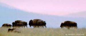 Lingohr.bison_