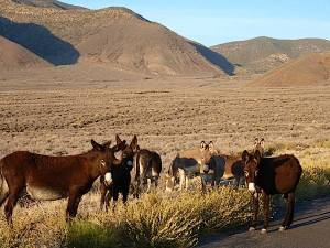 A group of burros, like this one near the Wild Rose area of Death Valley, helped a lost hiker stay alive in the park's backcountry/NPS file photo.