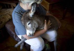 Donkey Ricky Bobby has been adopted by Johanna Wilson, a staff member of the Humane Society of North Texas. - photo by Joyce Marshall