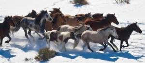 photo by Chris Detrick of BLM Swasey roundup Feb/2013