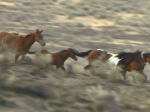 635763630604677565-wild-horse-gather-25