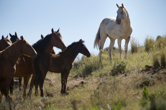LEDE: A white stallion, right, looks over his band of wild mustang mares on BLM land near Susanville, Tuesday, June 29, 2010. BLM plans for an early August roundup of 1,800 wild horses near Susanville that has legal groups, animal rights activists and enviromentalists in an uproar.