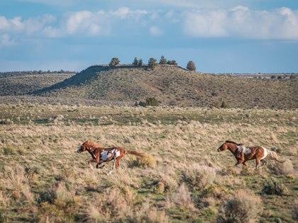 oregon-wild-horse-galloping-2-courtesy