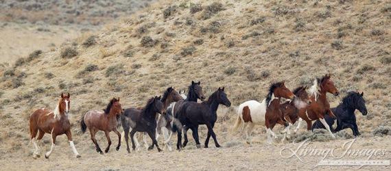 wild horse, Antelope Hills Herd Area, Wyoming, roundup, stallion, mares, foals