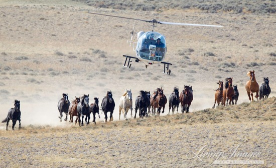wild horse, Antelope Hills Herd Area, Wyoming, roundup, stallion, mares, foal, helicopter