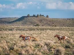 Oregon Wild Horses