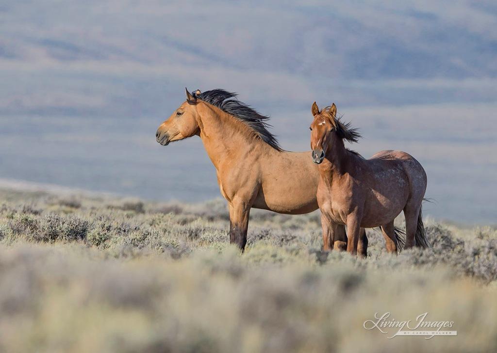 photo by Carol Walker of Wild Horse Freedom Federation