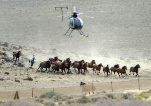 (Al Hartmann | Tribune file photo) The BLM used helicopters to steer wild horses into holding pens last July in an effort to remove the animals from state trust lands at Blawn Wash about 35 miles southwest of Milford. Dozens of horses soon returned and Utah is now suing BLM, demanding the agency remove horses from its lands across the West Desert.