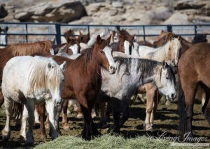Pregnant wild mares at a BLM Holding Facility