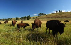 393346 04: Bison graze in Custer State Park, August 13, 2001 in the southern Black Hills of South Dakota. Millions of bison were slaughtered by white hunters who pushed them to near-extinction by the late 1800''s. Recovery programs have brought the bison numbers up to nearly 250,000. (Photo by David McNew/Getty Images)