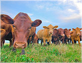 cattle-usda