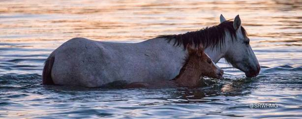 photo courtesy of Salt River Wild Horse Management Group