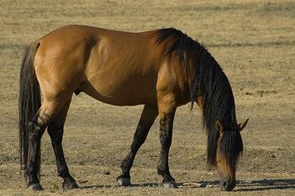 mustang-grazing-istock