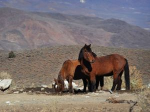 Wild horses are seen accessing a water hole during a Bureau of Land Management tour in the Pine Nut Mountains just outside of Dayton, Nev., on Jan. 23, 2015. Friends of Animals and Protect Mustangs filed a lawsuit Monday, Jan. 26, 2015, to block the bureau's roundup of the horses.(Photo: Jason Bean, Reno Gazette-Journal)