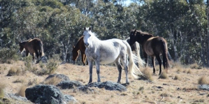 Snowy Mountain Brumbies