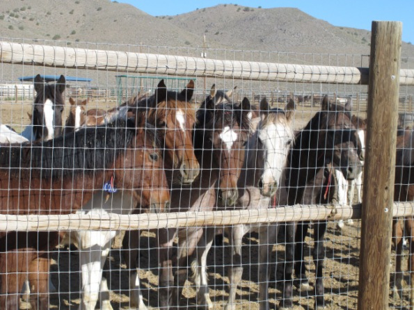 In this June 5, 2013 photo, some of the hundreds of mustangs the U.S. Bureau of Land Management removed from federal rangeland peer at visitors at the BLM's Palomino Valley holding facility about 20 miles north of Reno in Palomino Valley, Nev. The Cloud Foundation and Friends of Animas are petitioning the U.S. Fish and Wildlife Service to declare wild horses threatened or endangered in North America under the Endangered Species Act. (AP Photo/Scott Sonner)
