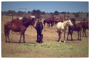 "8 month old fillies at BLM's Hines, Oregon holding facility...waiting for the ""experiment"""