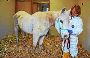 Dr. Rose Nolen-Walston, associate professor of Large Animal Internal Medicine at New Bolton Center in Kennett Square, tends to this 20-year-old Arabian horse who was shot with 130 rounds from a paintball gun earlier this year. Lily died Monday. Submitted photo