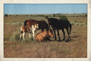 Steens HMA wild horse family, about to be destroyed by BLM for experimental sterilizations ~ photo by R.T. Fitch of Wild Horse Freedom Federation