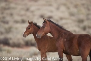 Photo by Carol Walker of Wild Horse Freedom Federation