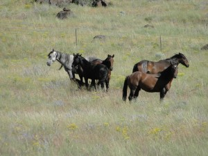 Spanish Springs Wild Horse Family