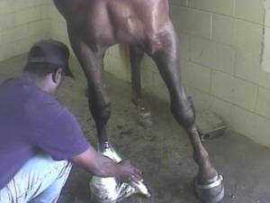 "Undercover video footage released in 2012 documented cruel treatment of horses in the Tennessee walking horse industry. It showed the use of painful chemicals on horses' front legs to force them to perform an artificially high-stepping gait for show competitions. This practice, known as ""soring,"" has been illegal for more than 40 years under the federal Horse Protection Act. Humane Society of the United States"