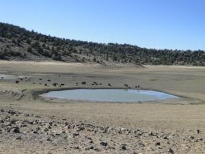 Wefare Cattle