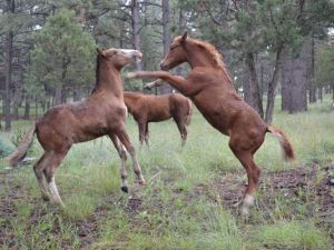 Wild horses were feeling frisky on a fall afternoon.(Photo: Courtesy/Kristen Kandros)