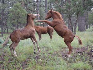 Wild horses were feeling frisky on a fall afternoon.(Photo: Courtesy/Kristen Kandros)