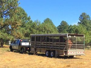 A truck pulled into the Fort Stanton Road property with members of the Alto herd.(Photo: Courtesy/Teeatta Lippert)