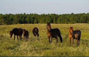 fort-polk-horses