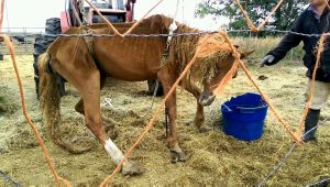 A tractor lifts the body of an emaciated horse Sept. 13 at the ranch of the International Society for the Protection of Mustangs and Burros near Lantry.   Courtesy photo