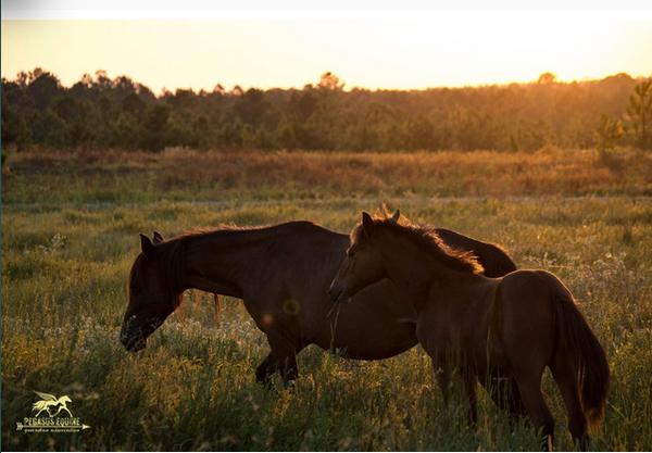 fort-polk-horses-5
