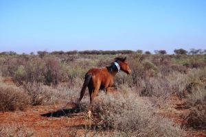 Wild Horse Collar