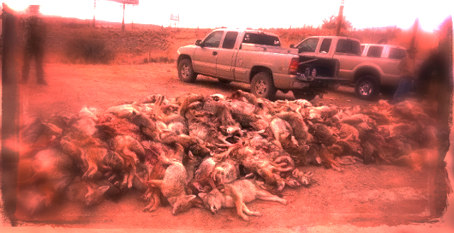 dead_coyotes2