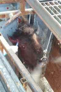 bison-slaughter