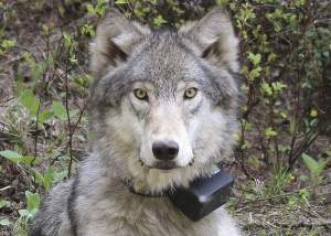 collared-wolf