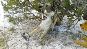 coyote-cruelty