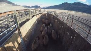 yellowstone-bison-roundup